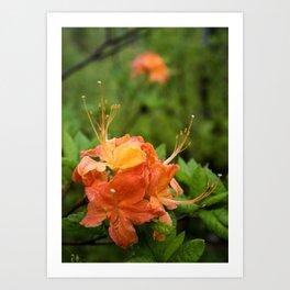 Flame Azalea Botanical Fine Art Print, Flower Print, Wildflower Nature Print Art Print