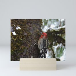 Red-Breasted Sapsucker in Christmas Snow Mini Art Print