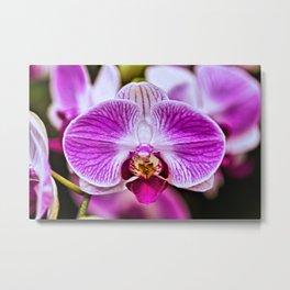 Single Purple, Violet & White Orchid Closeup Metal Print