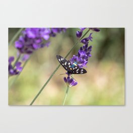 Amata Phagea on lavender Canvas Print