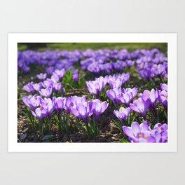 Purple Crocuses Art Print