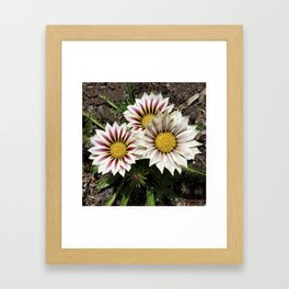 Zany Gazania - red and white stripes Framed Art Print