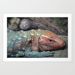 Northern Caiman Lizard Art Print