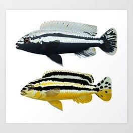 Malawi cichlids Melanochromis auratus pair Art Print