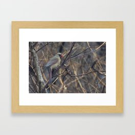 Female Northern Cardinal Framed Art Print