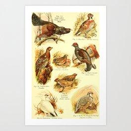William Playne Pycraft - A Book of Birds (1908) - Plate 12: Game-birds Art Print