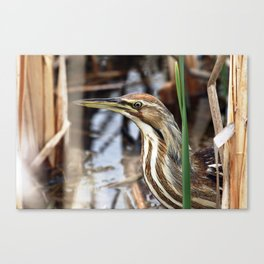 American Bittern - Take Two Canvas Print