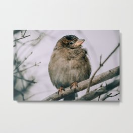 Female House Sparrow, Staying Warm Photograph Metal Print