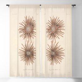 Naturalist Sea Urchins Blackout Curtain