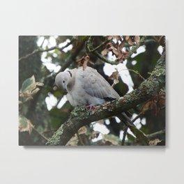 Collared Dove Metal Print