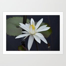Water Lily White Art Print