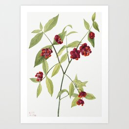 Strawberry Bush Hearts Bustin with Love (Euonymus Americanus) (1930) by Mary Vaux Walcott Art Print