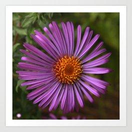 Purple Aster Art Print