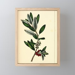 Rabbit Berry, shepherdia argentea Redoute Roses 3 Framed Mini Art Print