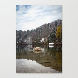 Beautiful scene of swan (lat. Cygnus olor) on the lake Canvas Print