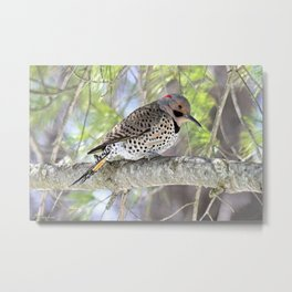 Northern Flicker Showing His Colors Metal Print