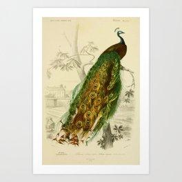 Naturalist Peacock Art Print