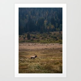 Elk in Rocky Mountain National Park Art Print