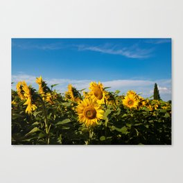 Sunflowers in the Summer Canvas Print