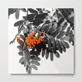 Red Rowan Berries In Black And White Background #decor #society6 Metal Print