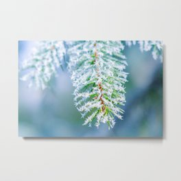 Bitter Cold, Frost On Spruce Tree Metal Print