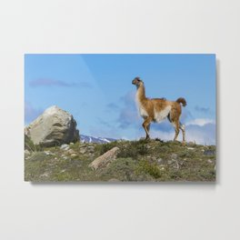 A Guanaco, in Patagonia, Chile. Metal Print