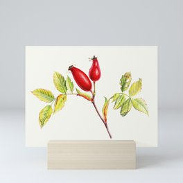 Rose hips, Rosa canina in watercolor Mini Art Print