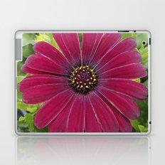 Deep red velvet African daisy -- Osteospermum flower Laptop & iPad Skin