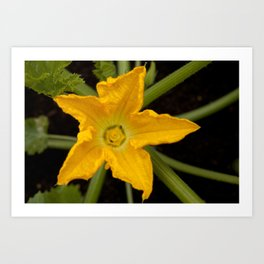 Courgette / zucchini flower Art Print