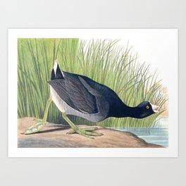 American Coot Vintage Bird Illustration Art Print