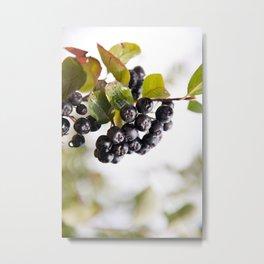 Chokeberries or aronia fruits Metal Print