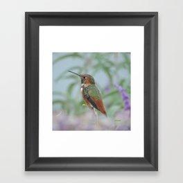 Allen's Hummingbird Sentinel Framed Art Print