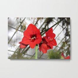 Red Amaryllis Metal Print