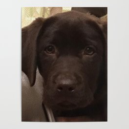 Cute Lab Puppy Poster