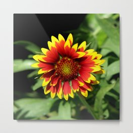Gaillardia (Blanket Flower) Close-up   Metal Print