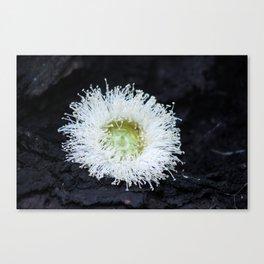 eucalyptus flower Canvas Print