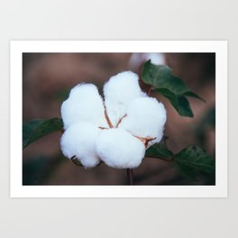 Cotton Flower 3 Art Print
