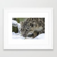 snow leopard Framed Art Prints featuring Snow Leopard by PICSL8