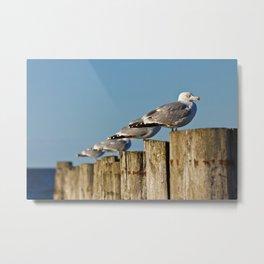 Seagulls on groynes Metal Print