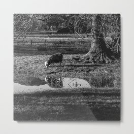 Herdwick sheep grazing in a flooded field. Gasmere, Lake District, UK. Metal Print