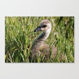 Baby Canada Goose Canvas Print