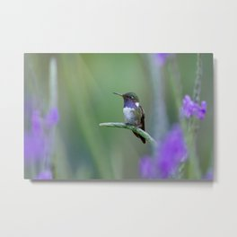 Volcano Hummingbird in Costa Rica Metal Print