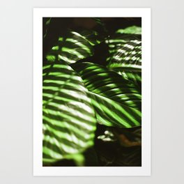 Afternoon Light on a Peace Lily Plant Art Print