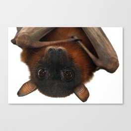Little Red Flying Fox Hanging Out Canvas Print