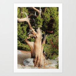 Sturdy Old High Country Tree Art Print
