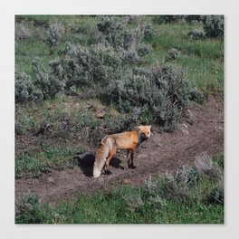 Smirking Fox Canvas Print