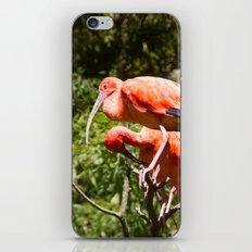 Eudocimus Ruber iPhone Skin