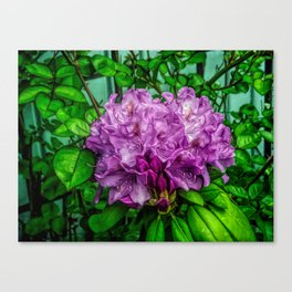 Fine Wine Cafe Light Purple Rhododendron Canvas Print