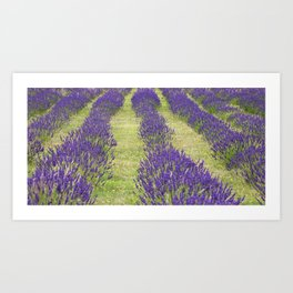 Suffolk Lavender Farm Art Print