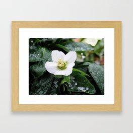 christmas rose Framed Art Print